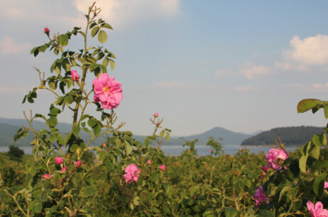 The Bulgarian Rose Valley