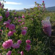 Rose Picking 2017 – Rich harvest
