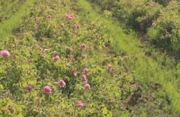 Rose Picking 2013