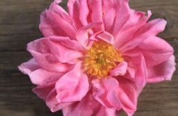 Rose harvest 2014 has started
