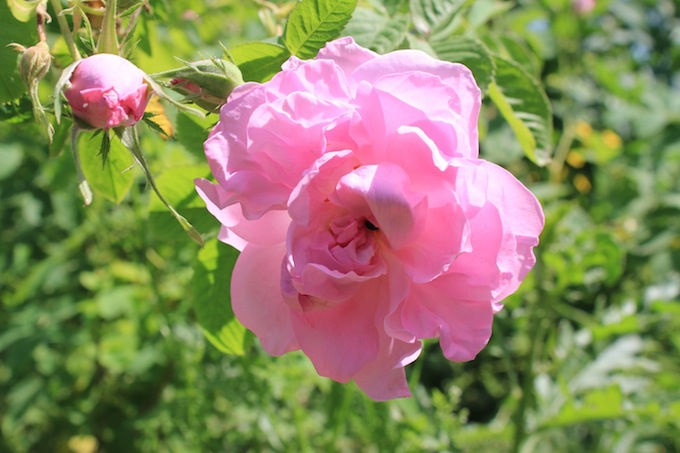 Rose Picking 2015 here we come