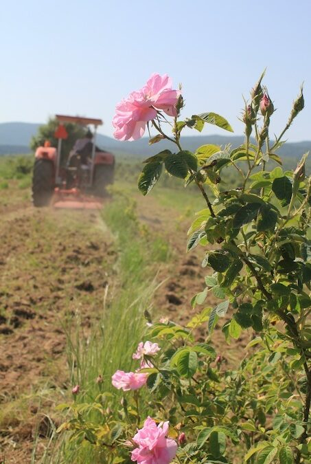 Rose Picking 2015 – Be quick before they're gone