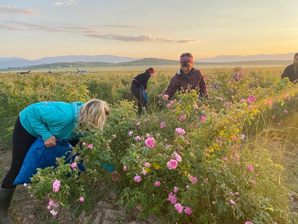 Picking Rosa Damascena with the sunrise