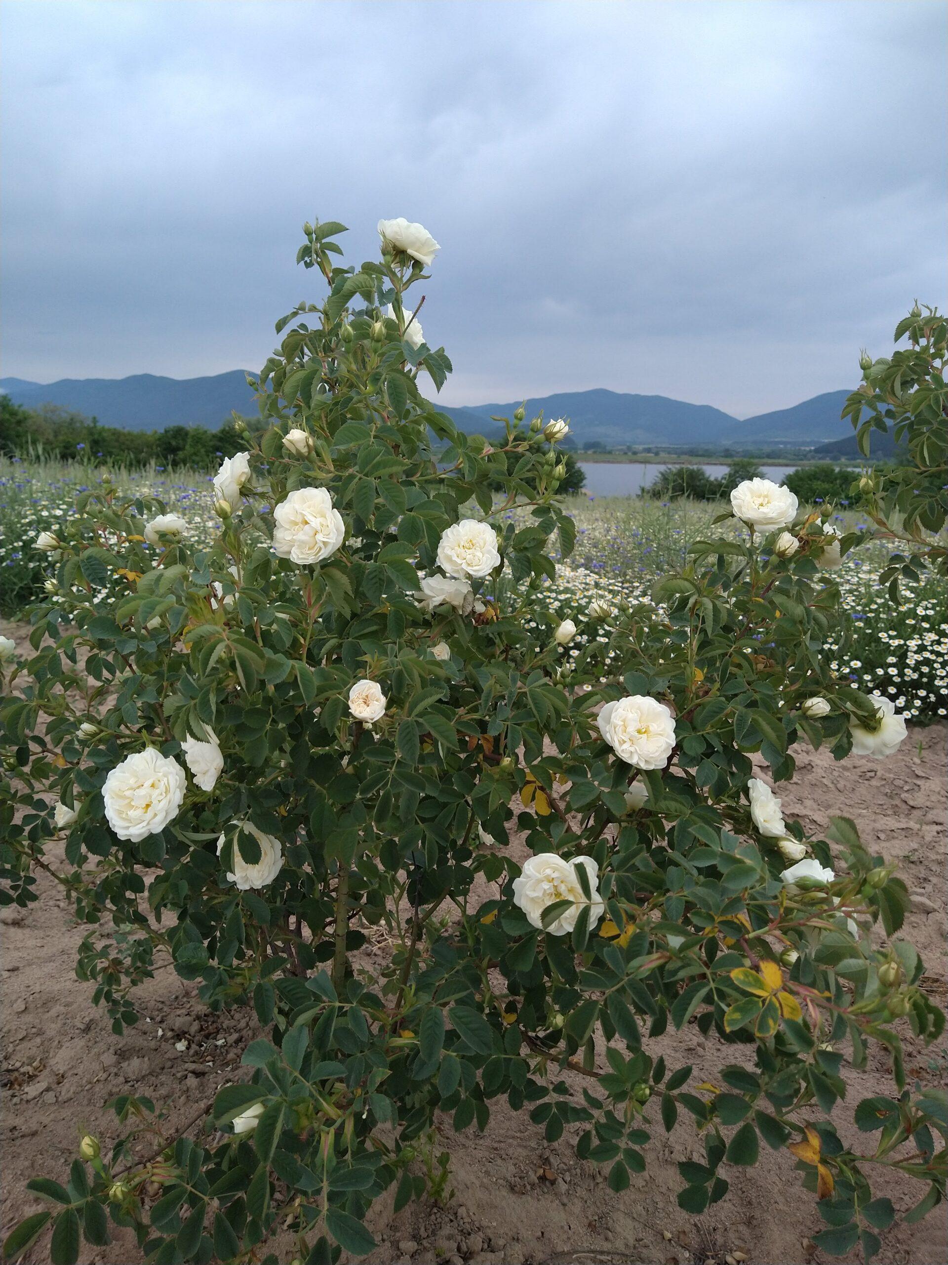 Flowering white rose bush with lake back drop