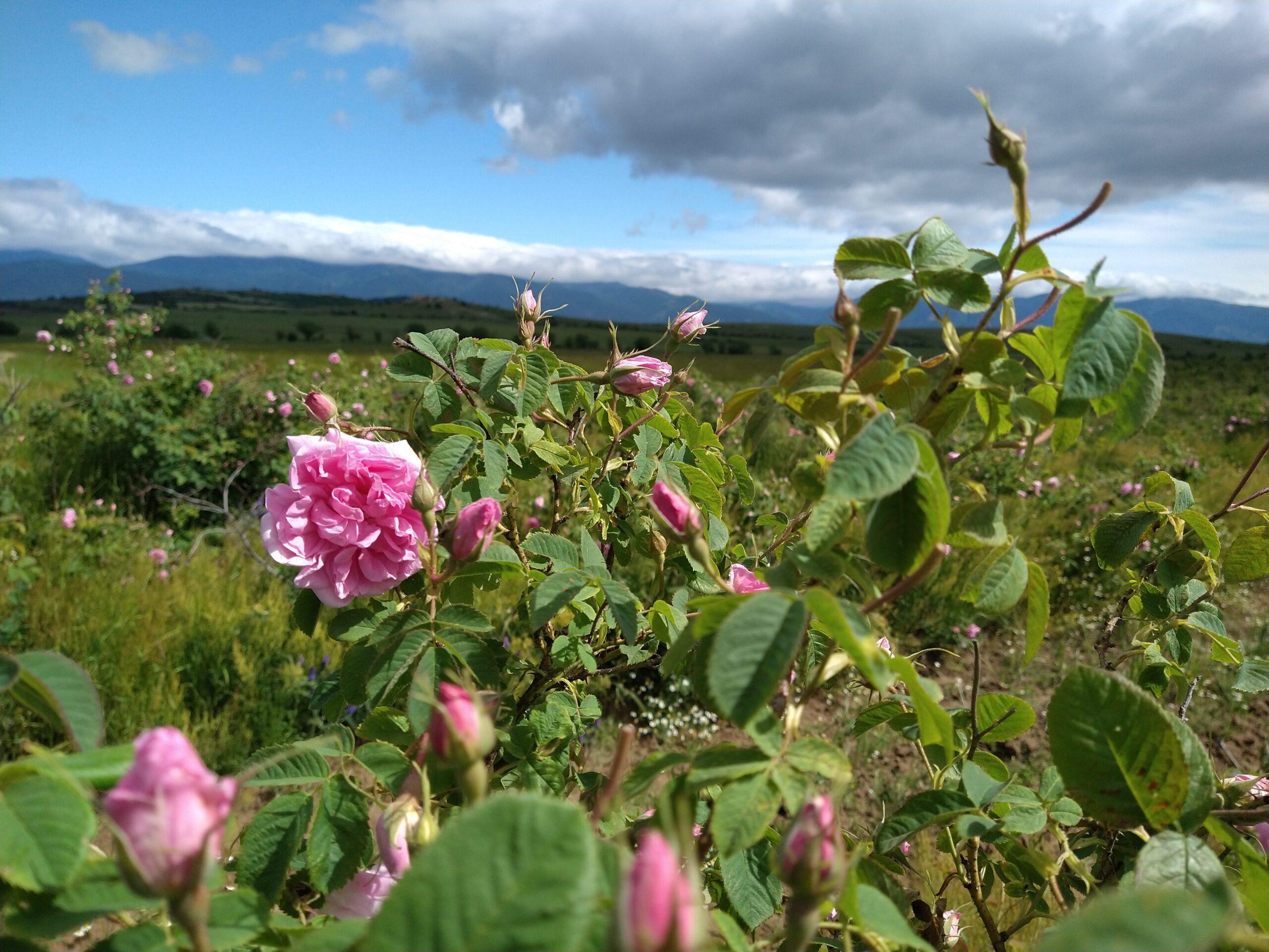 Blooming Rosa Damascena